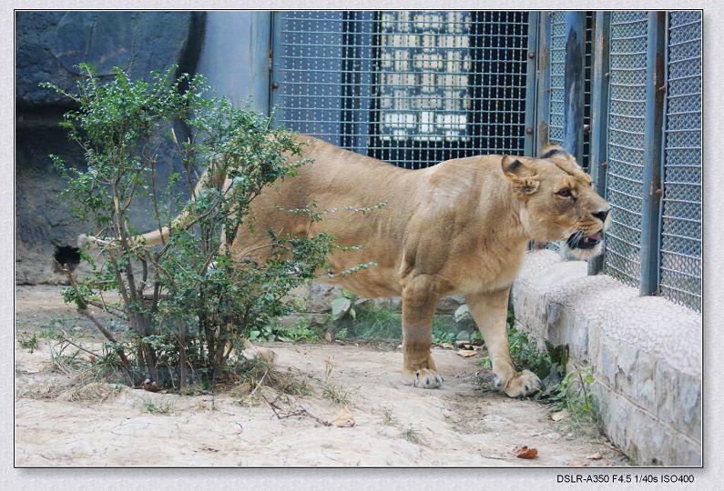 非洲雌狮; 最凶猛的猫科动物; 动物世界----虎狮熊猪-mingyue