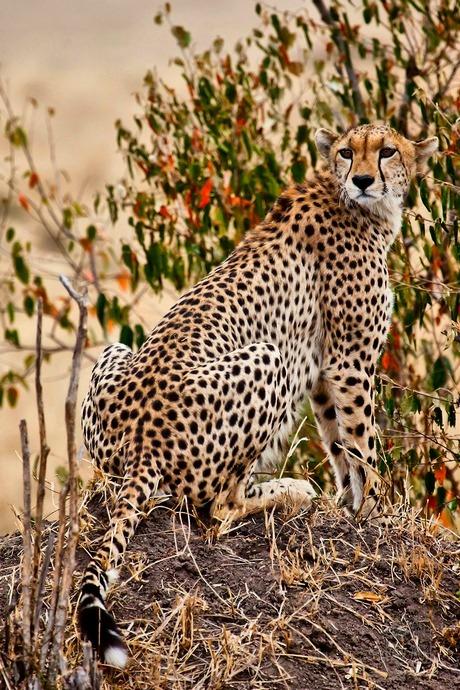 猎豹:大型猫科动物,主要分布在非洲与西亚