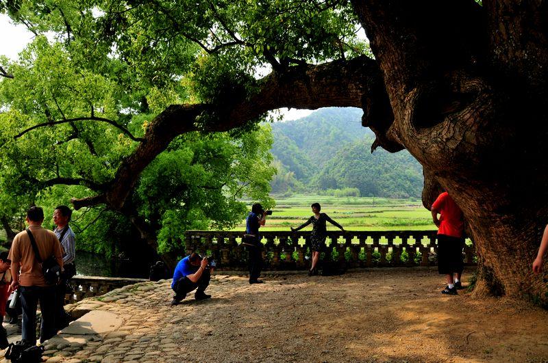 中国寿命最长的树_寿命最长的动物《世界上树龄最长的树》樟