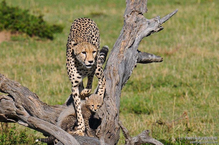 野性非洲(4)- 实拍猎豹母子捕食