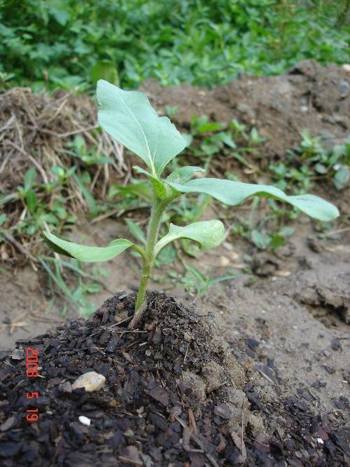 紫茄子的生长过程 27
