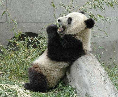 偷来好多可爱的熊猫图片