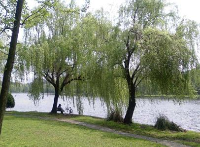 河边柳树和燕子动图