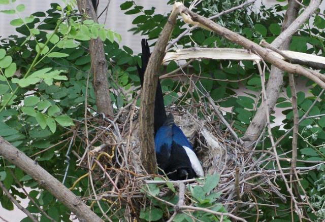 一对喜鹊在我的窗口的矮树上建了一个窝