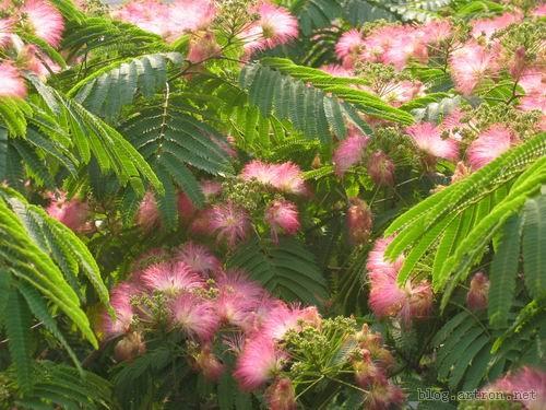 小绒花树-一树合欢