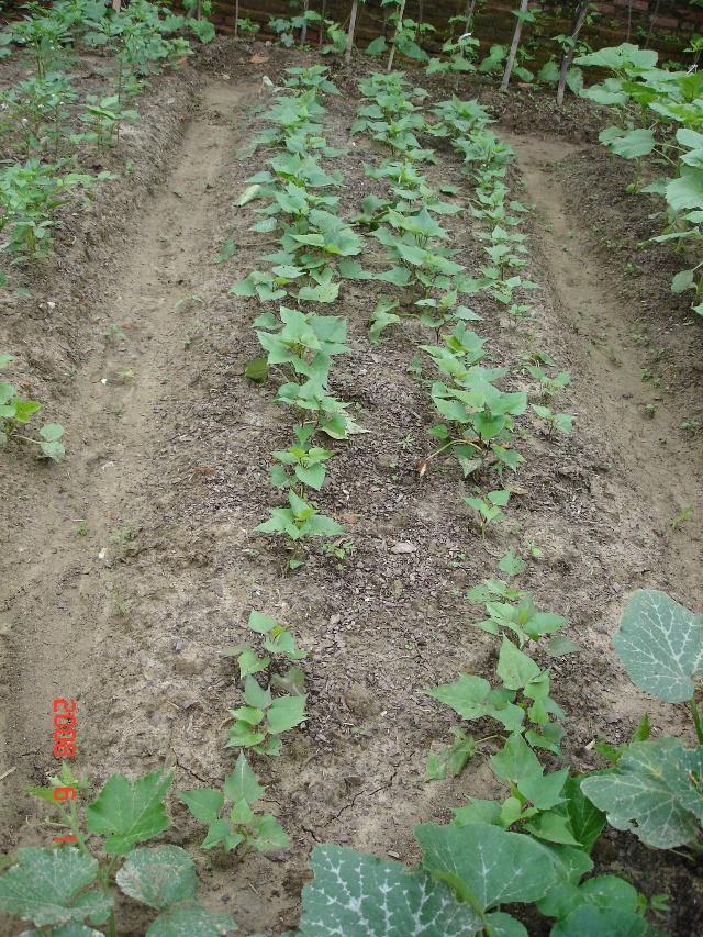 紫心地瓜的生长过程 7