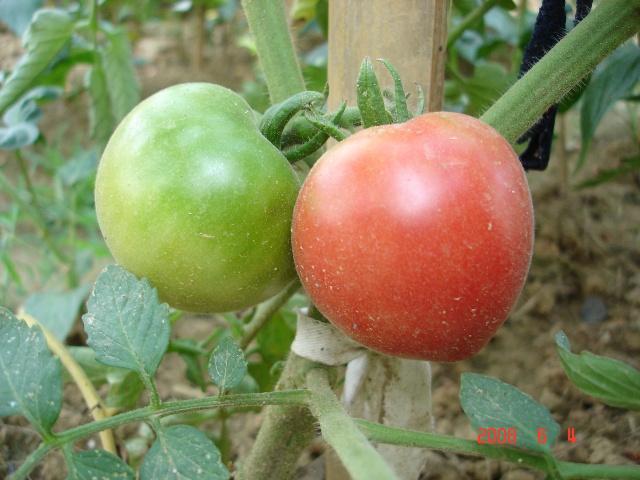西红柿的生长过程 14