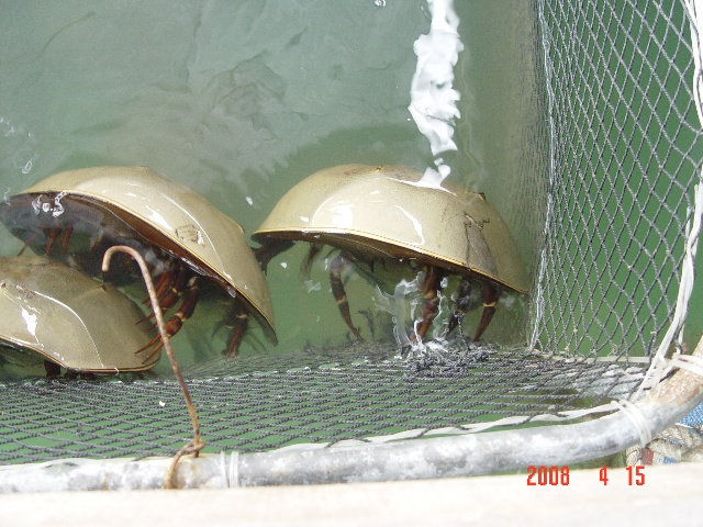 最古老的甲壳动物:鲎