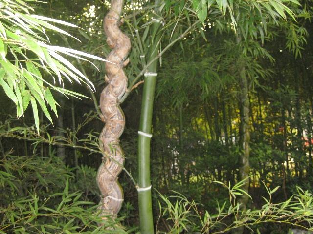 龟竹(长寿竹)