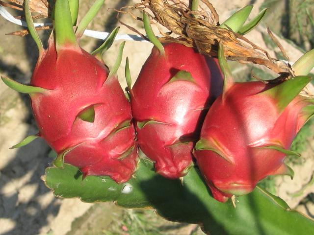 火龙果怎么切 火龙果怎么切好看 火龙果怎么切漂亮
