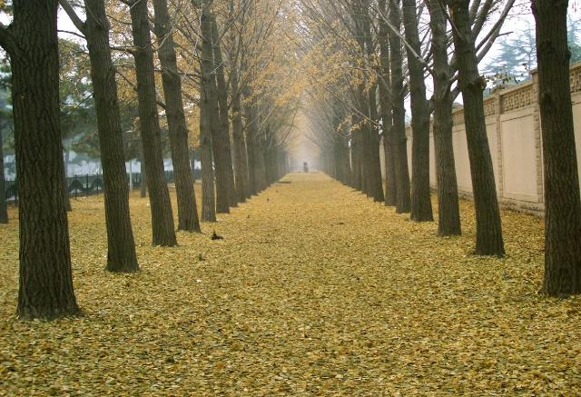 叶,秋天的树叶五颜六色的,黄色的银杏叶,红色的黄栌叶,绿色的柳树叶&
