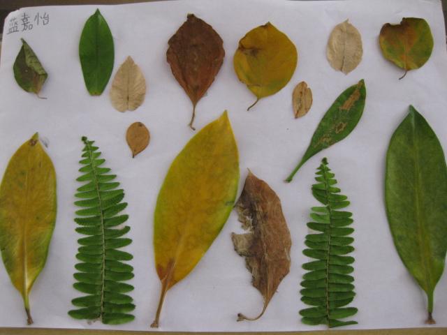 在利用树叶方面有贴画,有树叶拓画,还有的直接在树叶上作画.