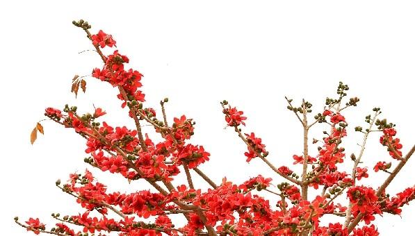 """木棉花别名""""斑芝树"""",""""英雄树"""",""""攀枝花"""".原产地在印度,印尼,菲律宾."""