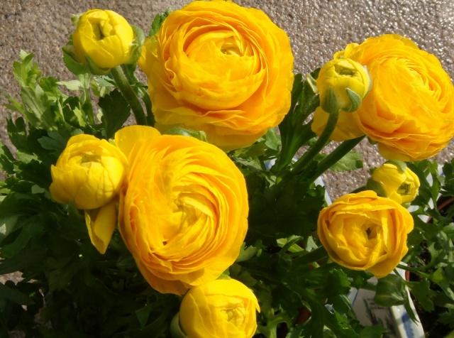 唯一的亮色,是我中午到花鸟市场买的芹叶牡丹,红色的、黄色的、橙色的、紫色的各一盆,放在我背后窗前的案上,在阳光下幸福地开放。我给她们撒写水,晶莹的水珠在花瓣上闪着光。我喜欢在办公室养花,我周围摆了三棵树,五盆花,还有一棵比我脑袋大好几圈的仙人球。每天上班我会早早到办公室,向他们问好,看看他们,修剪一下,然后开始工作。