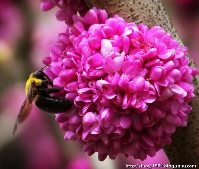 豆科紫荆花的花语是:亲情无价;团结和睦;兴旺发达