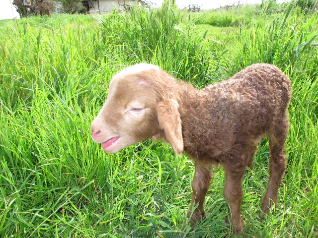 可爱的小羊羔刚刚出生