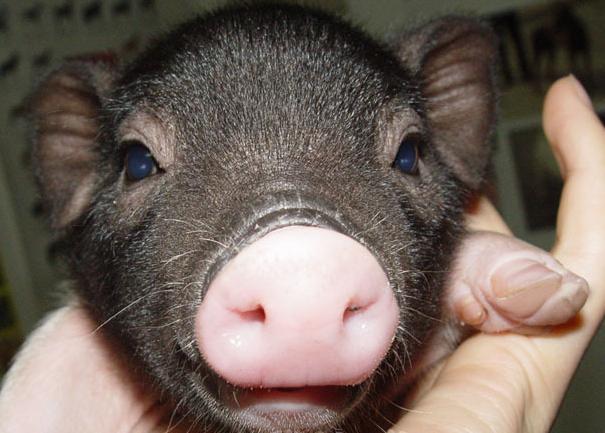 小香猪 宠物猪 迷你猪