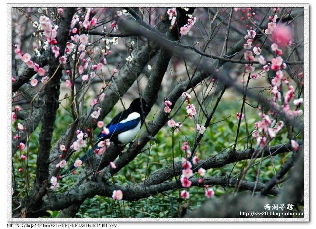 """梅花是春天的使者,喜鹊是是好运与福气的象征,""""喜鹊登梅""""是我们中国人"""