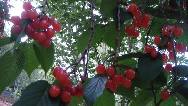 乡说,这是几棵野生的樱桃树,没有化肥污染过,摘下来就可以吃了.图片