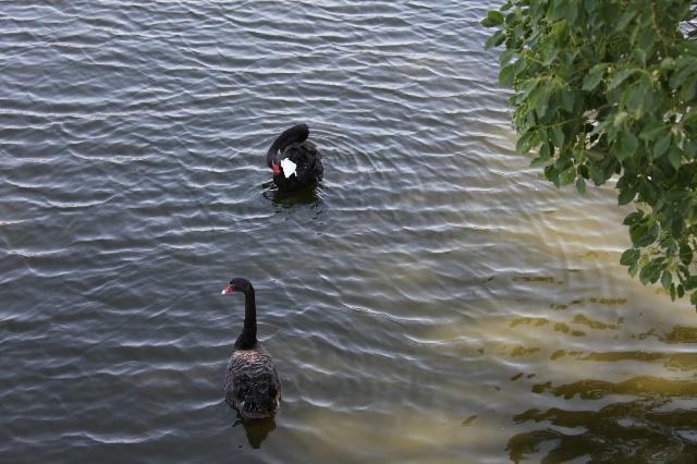武汉动物园中的黑天鹅
